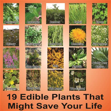 edible plants in your backyard wild edible plants in your backyard hd survivalkit com