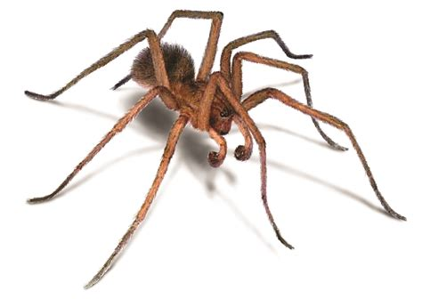 aggressive house spider hobo spiders aggressive house spider facts identification