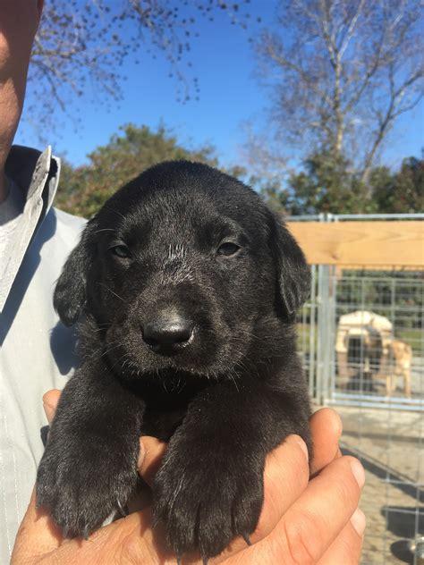 golden retriever breeder houston labrador retriever puppy houston dogs in our photo