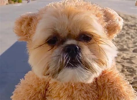 shih tzu teddy costume cuteness munchkin the shih tzu strolls along the in his teddy costume