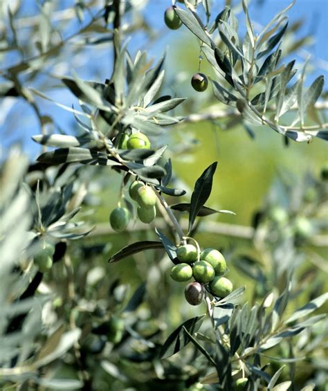 la cuisine d olivier olivier planter et tailler ooreka