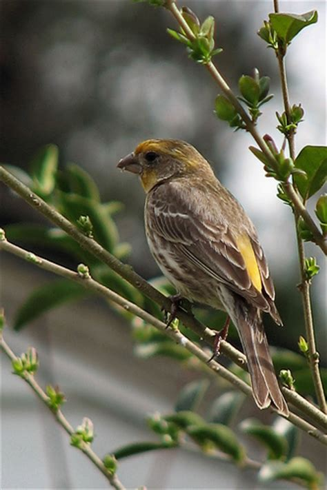 yellow house finch yellow variant house finch flickr photo sharing