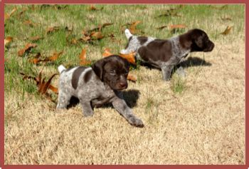 german shorthaired pointer puppies for sale in sc edisto pines dogs for sale german shorthaired pointer puppies