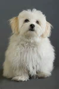 The rebel shag or puppy cut pawsitively humane inc
