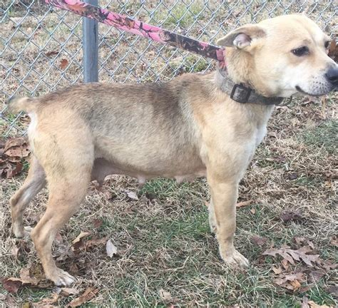 dogs for adoption in ky view ad rat terrier for adoption kentucky morehead