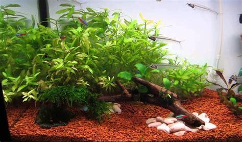 jenis tanaman aquascape bagus  akuarium tanaman hias