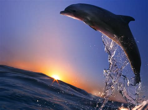 Sprei Sea Dolphine pin wallpaper jump dolphins free wallpapers