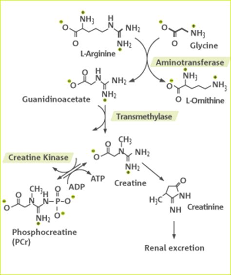 creatine synthesis precious bodily fluids creatine is not just creatinine