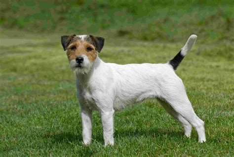 Parson Terrier Shedding by Parson Terrier Puppies Pictures Information