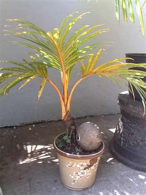 bonsai kelapa mini kelapa gading merah