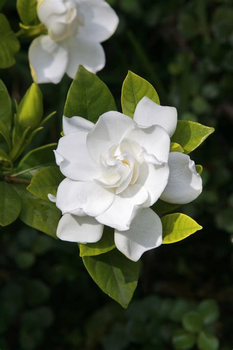 gardenias flower pruning gardenias tips for when and how to prune a gardenia