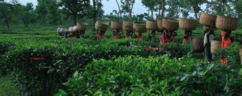 Garden Answer Teacup Garden Tea Garden In Sylhet Bangladesh Ambassador Report Our