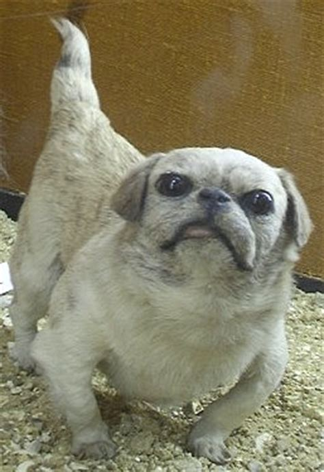 japanese pugs barks from the past 10 extinct breeds reflections