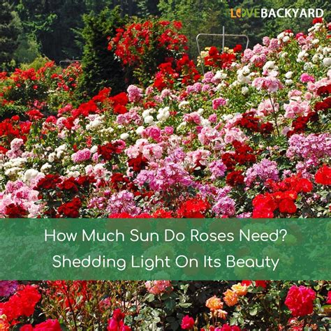 How Much Sun Do Roses Need Apr 2018 Shedding Light On How Much Sun Does A Vegetable Garden Need