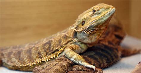hot temperatures  messing  australian lizards gender