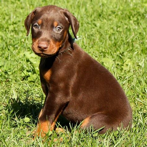 brown doberman puppies brown doberman pinscher pup large breed dogs