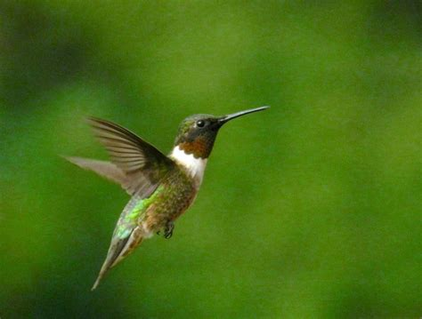 10 fun facts about hummingbird migration into the air