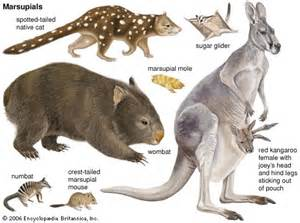 marsupials facts for about marsupials