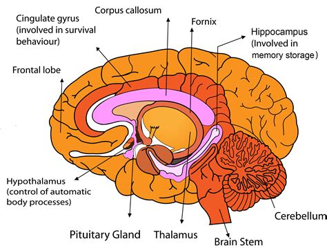 sections of the brain and their functions pics for gt basic parts of the brain and their functions