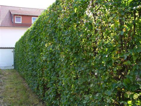 hainbuche wei 223 buche carpinus betulus baumschule