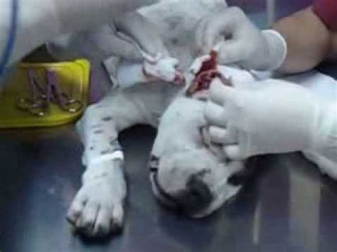 corte de orejas pitbull corte de orejas zeus american pitbull terrier youtube