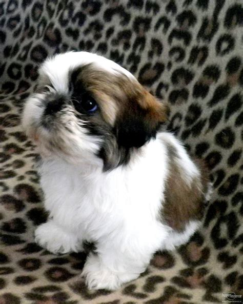 17 Best Images About Shih Tzu On