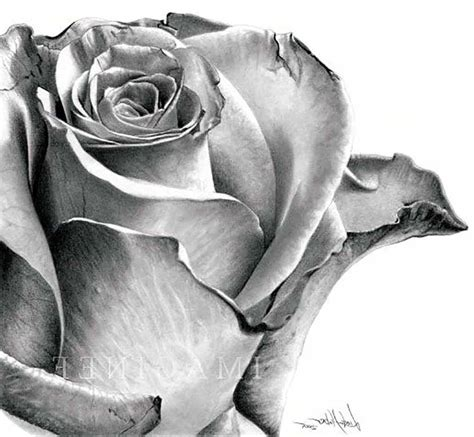 drawn rose shaded pencil and in color drawn rose shaded