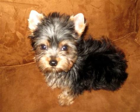regular size yorkie pocketbook pups terriers blackie