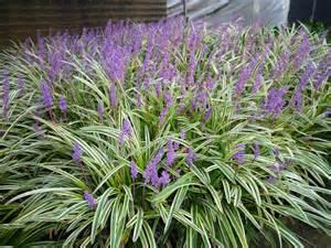 Silver Foliage Plants Australia - liriope muscari liriope muscari for sale online in australia evergreen growers