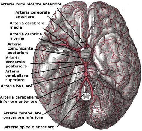 vasi cerebrali arteria basilare