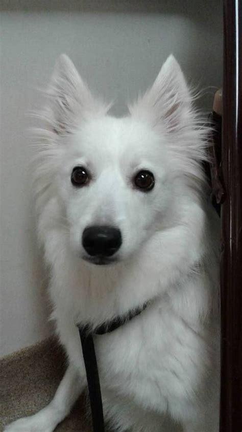 puppy rescue cincinnati 252 best american eskimo german spitz images on japanese spitz animals