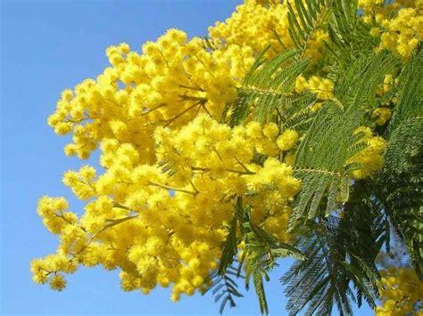 immagine di mimosa fiore otto marzo