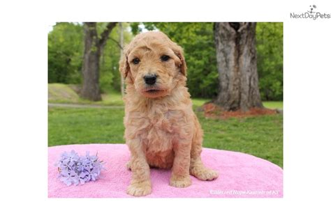 Maine Goldendoodle Puppy For Sale Near