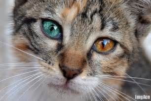 cat eye colors cats with different eye colors 10 pics animal s look