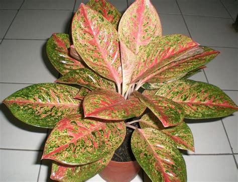 tanaman aglaonema happiness bibitbungacom