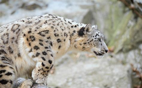 wallpaper mac leopard hd mac os x snow leopard wallpaper hd 60 images