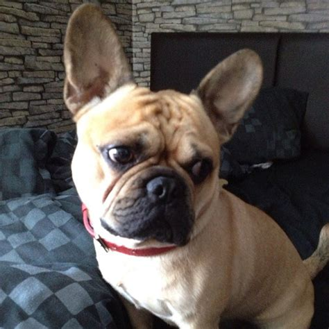 frenchie pug mix bull terrier corgi mix dogs