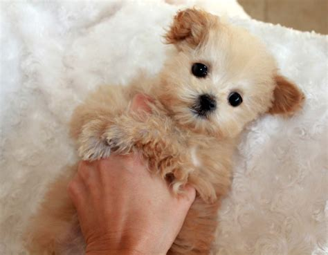 apricot maltipoo puppies for sale teacup malti poo puppy for sale iheartteacups