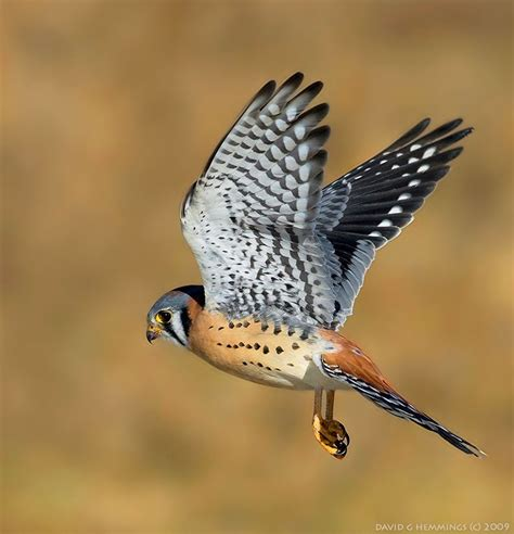 500px american kestrel in flight by david hemmings