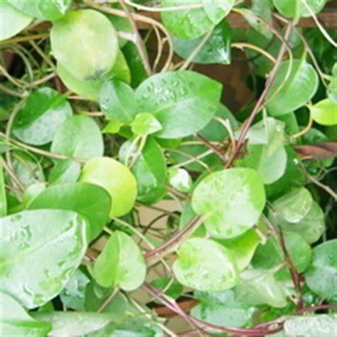 Obat Herbal Sakit Uci Uci 99 jenis tanaman obat keluarga toga serta kandungan dan