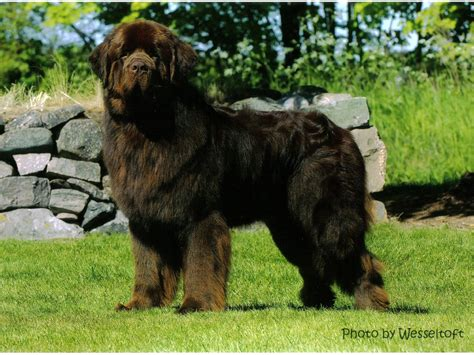 pictures of newfoundland dogs newfoundland size