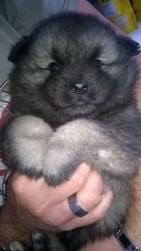 keeshond puppies for sale stunning keeshond puppies for sale ready now maidstone kent pets4homes
