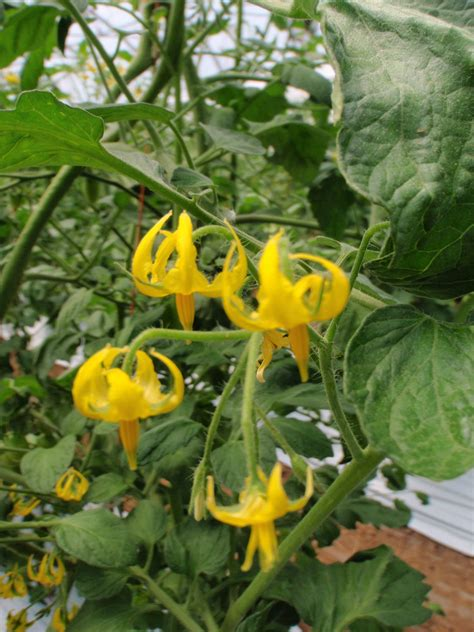 Toato Flower Top shooting tomatoes our green acres