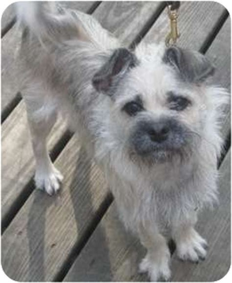border terrier and shih tzu mix adopted chicago il border terrier shih tzu mix