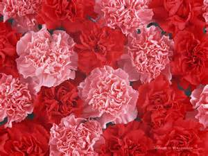 Carnation Flowers Pictures - mother s day carnation flowers carnation flowers fpr mother s day 1024x768 wallpaper 46