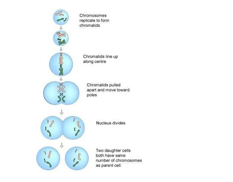 doodle quiz login stages of mitosis purposegames