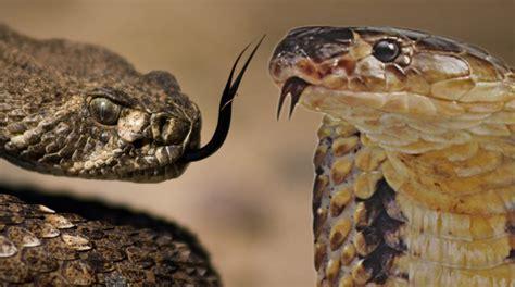 vs snake camel spider vs snake