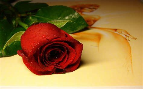 gambar bunga mawar merah cantik apps directories