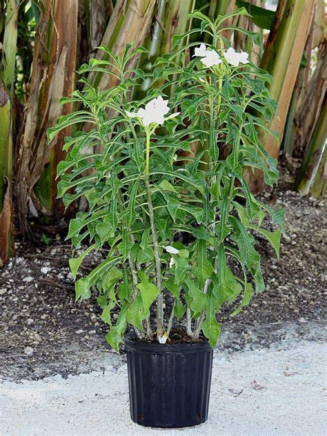 plumeria pudica plumeria pudica bridal bouquet frangipani plantvine