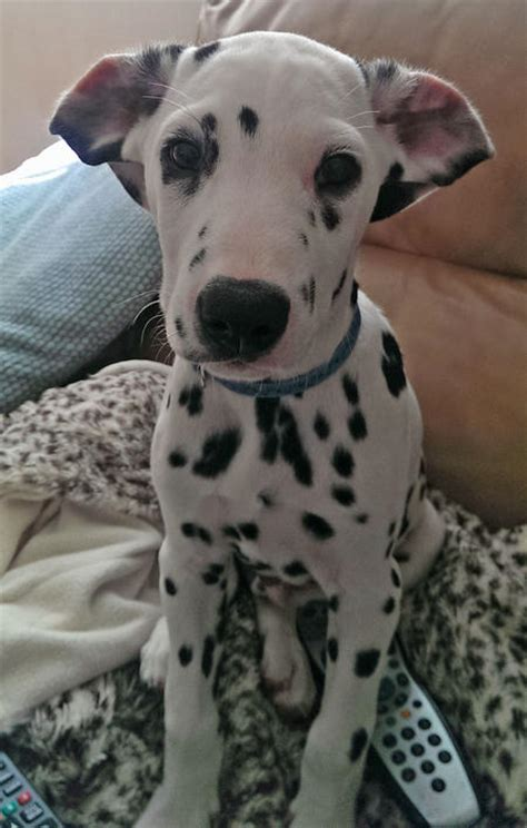 how much are dalmatian puppies digger the dalmatian puppies daily puppy